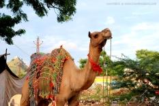 CamelSafari_Pushkar