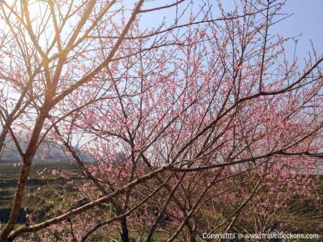 Sapa - Cherry Blossom