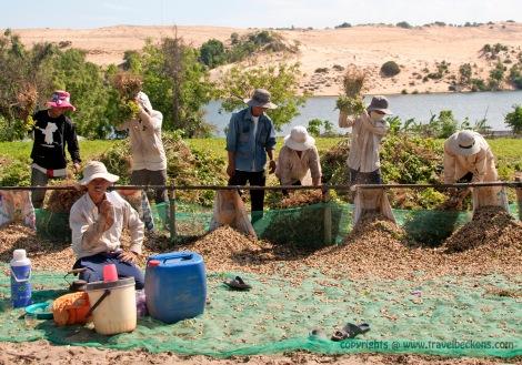 harvesting peanuts mui ne