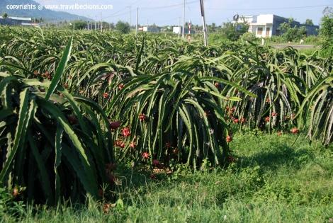 Dragon Fruit (Thanh Long) Farm