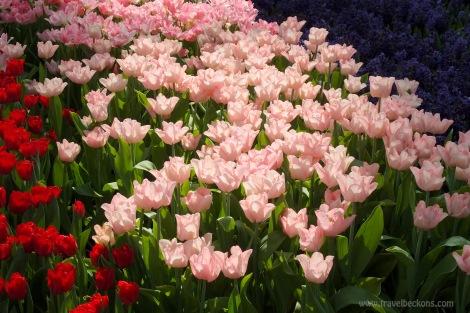 Tulipmania_SG_TB2