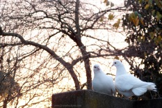 Another pair of love birds~