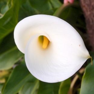 Lovely white calla in the garden