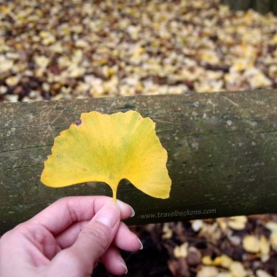 Ginko Tree Leaf.