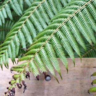 New Zealand's Silver Fern Leaf.