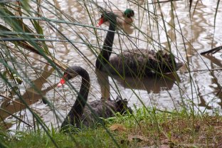 Hungry Black Swans.