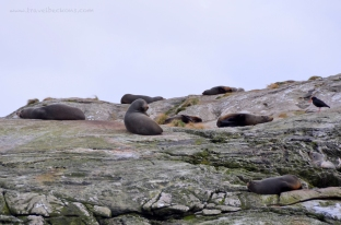 Tadaaaa! Lazy seals at Doubtful Sound