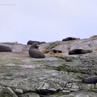 Tadaaaa! Lazy seals at Doubtful Sound